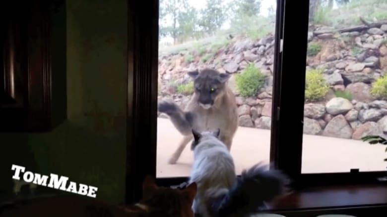 بالفيديو.. قط في مواجهة أسد الجبل في كولورادو