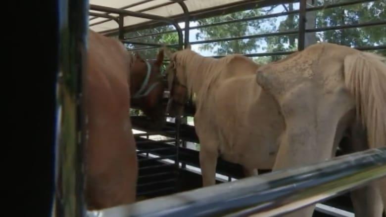 بالفيديو.. زوجان يحتجزان عشرات الخيول حتى الموت في تكساس