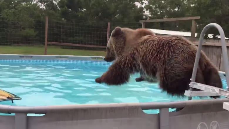 بالفيديو.. دب يستمتع بالسباحة في مسبحه الخاص