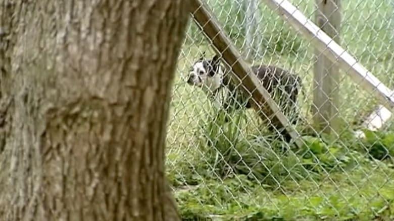 بالفيديو.. كلب بيتبول يهجم على طفل ويقتله