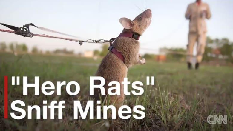 بالفيديو.. فئران تتفوق على البشر في كشف الألغام الأرضية