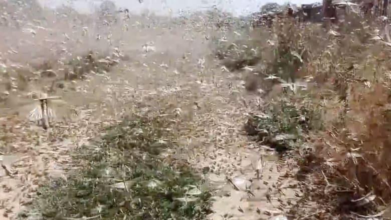 بالفيديو.. أسراب من الجراد العملاق تجتاح مناطق شاسعة في روسيا