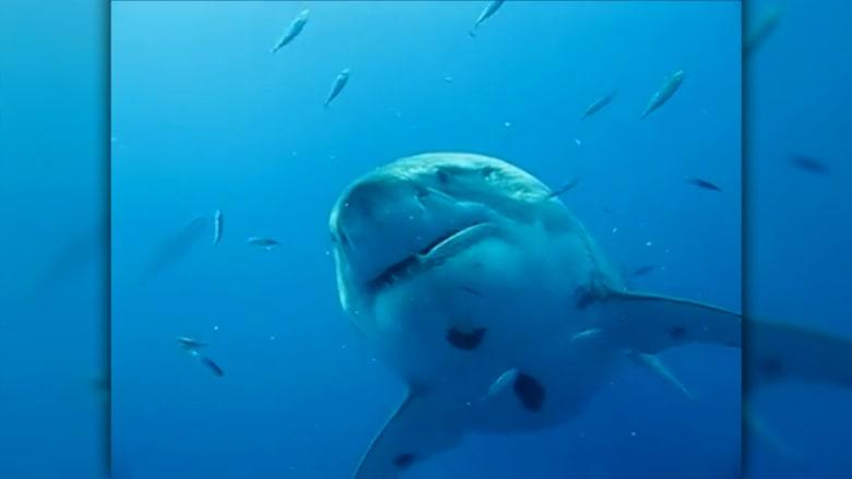 بالفيديو.. شاهد أكبر سمكة قرش يتم تصويرها