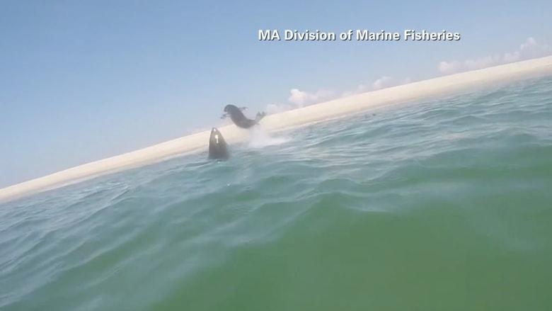 بالفيديو.. لحظة مطاردة فريدة بين قرش عملاق وفقمة في عرض البحر