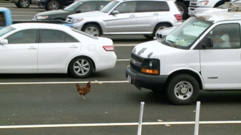 بالفيديو..مطاردة مثيرة بين شرطة فلوريدا ودجاجة لـ4 ساعات