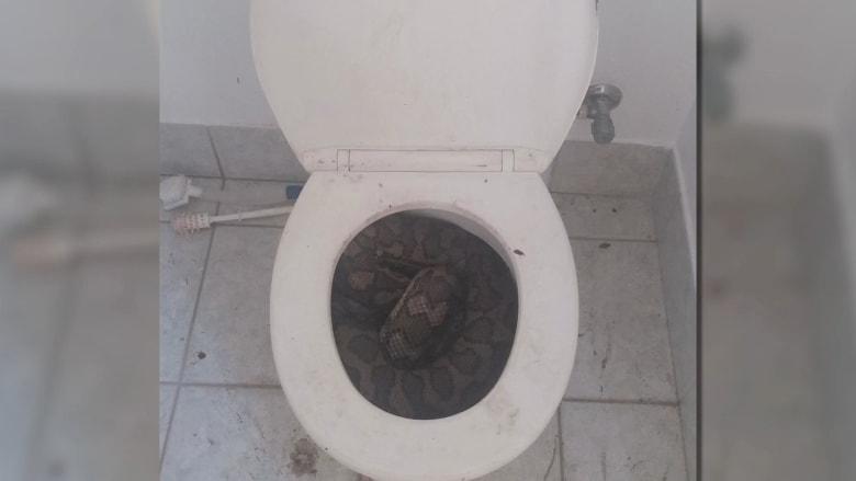 مشهد مرعب.. أسترالي يعثر على ثعبانين في مقعد مرحاض حمامه