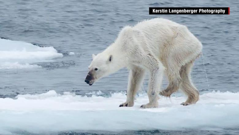 شاهد.. صورة لدب قطبي هزيل تثير الجدل على مواقع التواصل الاجتماعي