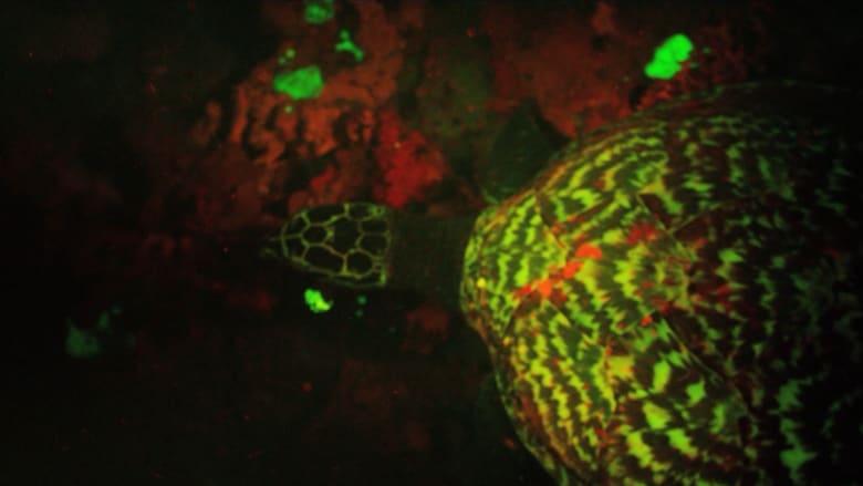 اكتشاف سلحفاة مضيئة هي الأولى من نوعها في المحيط الهادئ