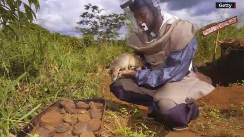 بالفيديو.. الجرذان في مواجهة حقول الألغام