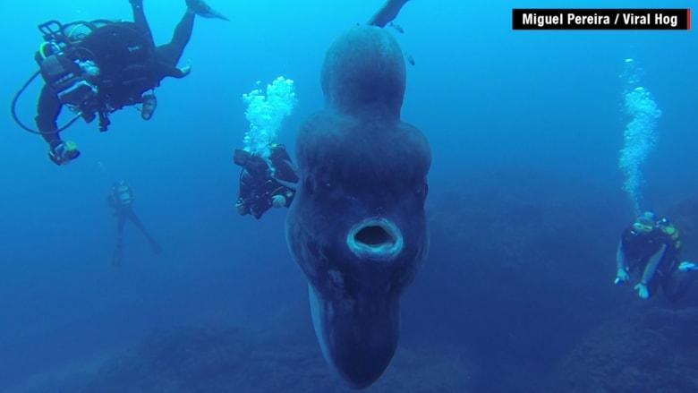 """بالفيديو: غواصون يلتقطون مشاهد مذهلة لـ """"سمكة الشمس"""" من أعماق المحيط"""