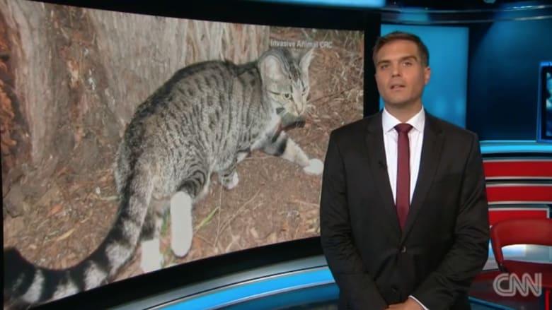 بالفيديو.. لماذا تخطط الحكومة الأسترالية لقتل مليوني قط بري