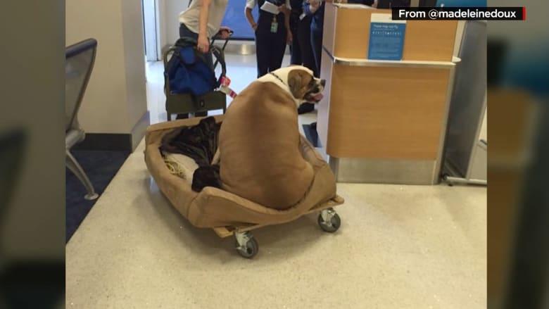 """شاهد: الكلب """"هانك الدبابة"""" يسافر على مقعده الخاص في الدرجة الأولى.. والسبب؟"""