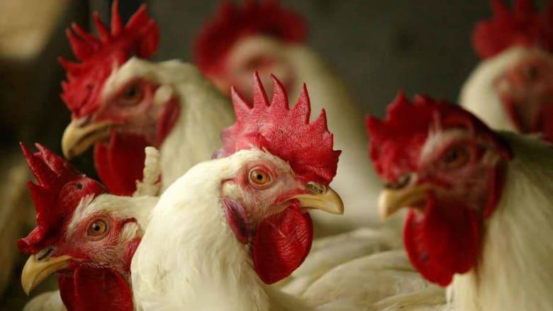 """انضمت إلى المغرب والكويت.. تونس تمنع استيراد الدجاج الفرنسي بسبب """"أنفلونزا الطيور"""""""