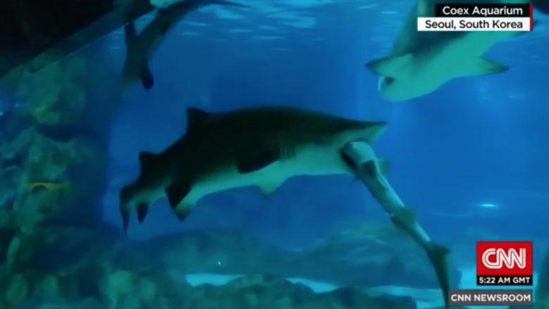 مشهد مروع لقرش يأكل آخر من فصيلته بالكامل!
