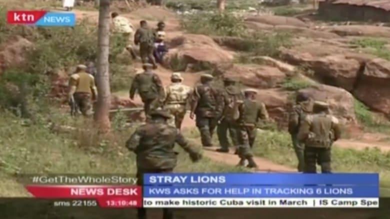 بالفيديو: هروب ستة أسود وسط منطقة سكنية في كينيا
