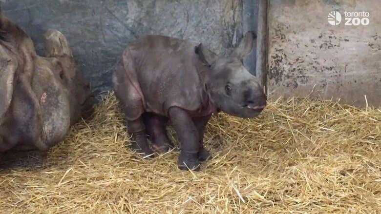 شاهد.. ولادة لصغير وحيد قرن نادر هو الأول منذ عام 1999