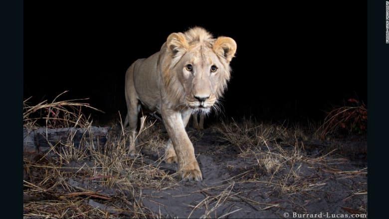 هل تساءلتم يوماً.. ماذا تفعل الحيوانات البرية أثناء الليل؟