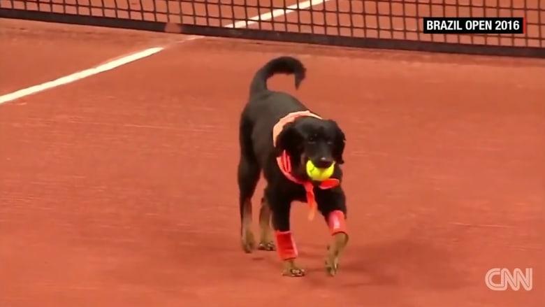 شاهد.. كلاب تلتقط الكرات أثناء مباراة للتنس في البرازيل