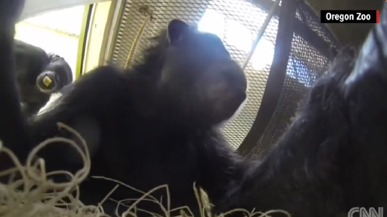 شاهد.. هذا الفيديو صوره قرد شمبانزي