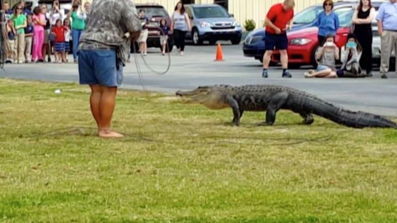 بالفيديو: تمساح ضخم يتجول في باحة مدرسة بولاية فلوريدا