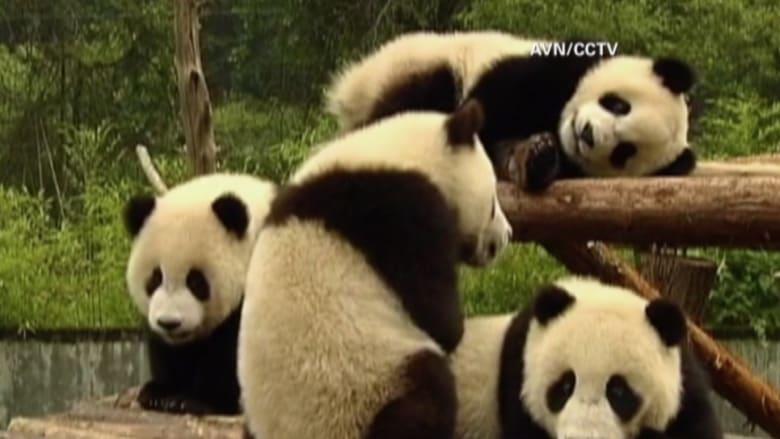 بالفيديو: الصين تستضيف دورة تدريبة عالمية من أجل الحفاظ على الباندا