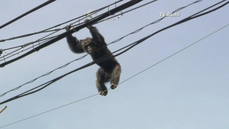 """شاهد.. مطاردة درامية مع قرد """"شامبانزي"""" على أسلاك خطوط الكهرباء في اليابان"""