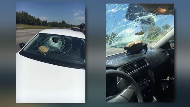 بالفيديو: سلحفاة طائرة تخترق زجاج سيارة مسرعة.. وتنجو من الحادث