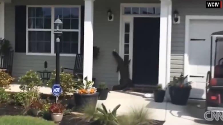 انتبه قبل فتح باب منزلك.. الطارق قد يكون تمساحا !
