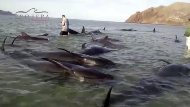 بالفيديو: غموض يلف انتحار 27 حوتا على شواطئ قريبة من كاليفورنيا
