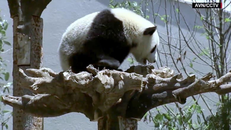 تعالوا في جولة مع أظرف المخلوقات.. دببة الباندا