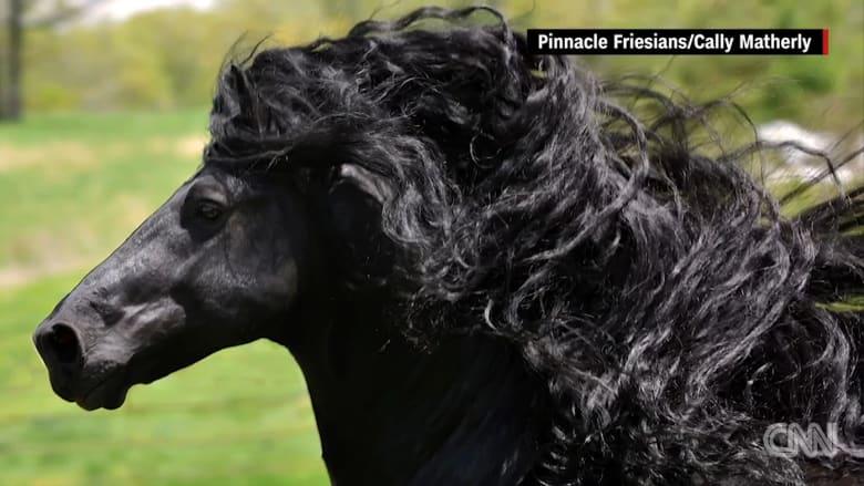 بالفيديو: هل هذا هو الحصان الأكثر وسامة في العالم؟