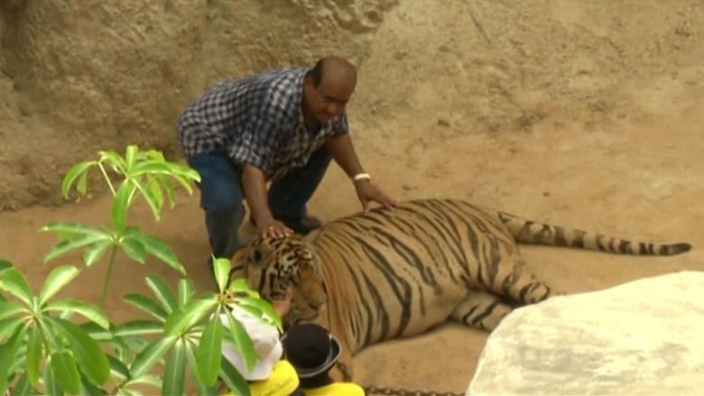 بالفيديو: عشرات النمور تنتشر بمعبد بوذي في تايلاند