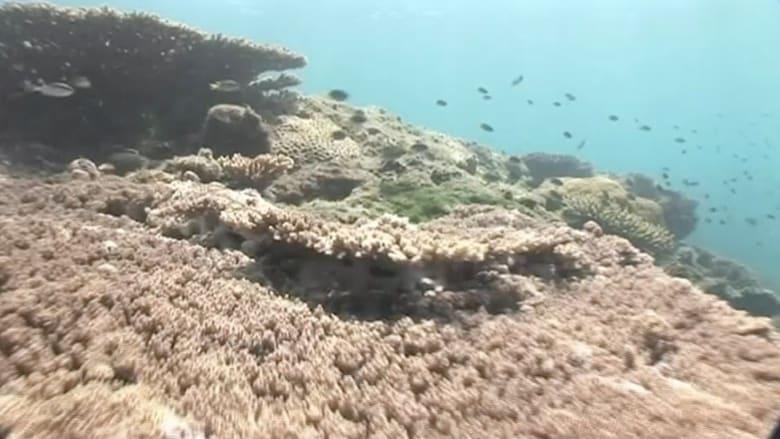 شاهد.. الشعاب المرجانية في الحاجز المرجاني العظيم تتحول الى اللون الأبيض