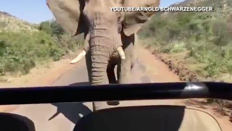 شاهد.. فيل غاضب يطارد أرنولد شوارزنيغر في جنوب أفريقيا