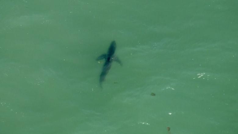 شاهد.. طائرة مروحية ترصد أسماك قرش ضخمة عند شواطىء كاليفورنيا