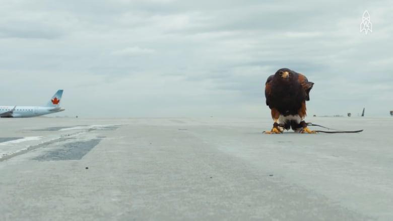 هل تصدق؟ صقر سيحمي طائرتك في السماء!