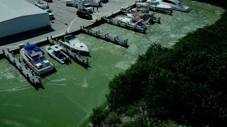 شاهد.. انتشار طحالب سامة يهدد بتخريب شواطىء فلوريدا