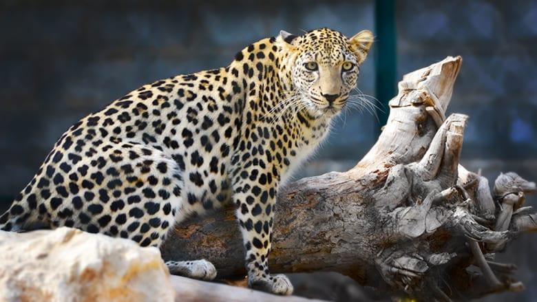 وسط الحروب والتهديد بالإنقراض.. كيف تحافظ الشارقة على حياة الحيوانات العربية؟