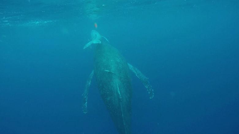 تعرف إلى جِمال البحر.. قد تكون أبطال المحيط الخارقة!