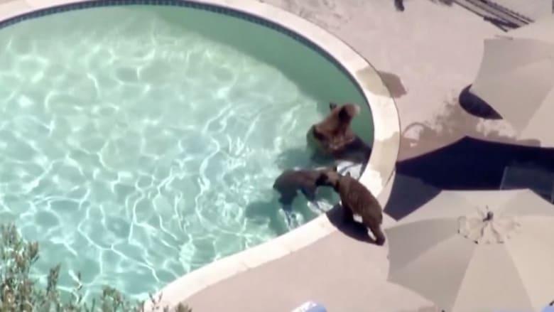 عائلة دببة تقتحم بركة سباحة منزل هربا من حرارة الجو