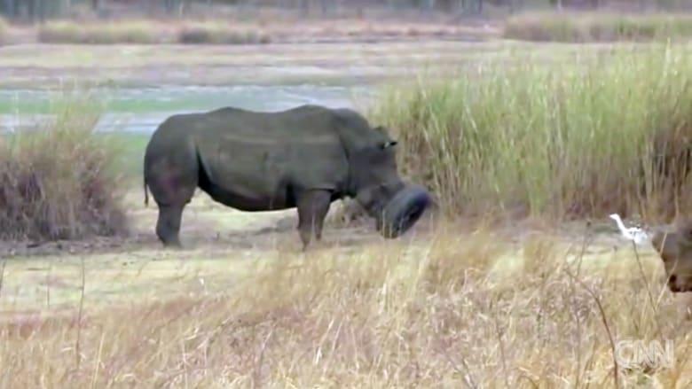 وحيد قرن يعلق في إطار سيارة ويعجز عن الأكل والشرب