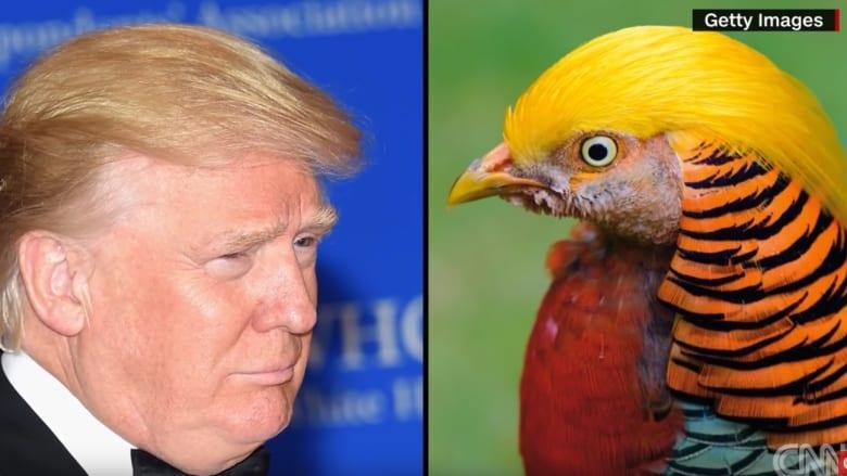 لماذا يربط الصينيون بين ترامب وهذا الطائر؟
