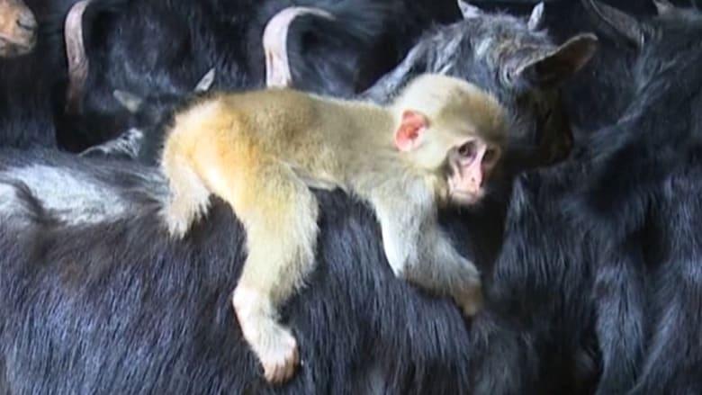 """قرد صغير يرفض مفارقة """"عائلته الجديدة"""" من الماعز!"""