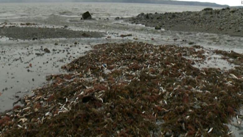 حادثة غريبة.. آلاف الأسماك النافقة تظهر على شواطئ كندا