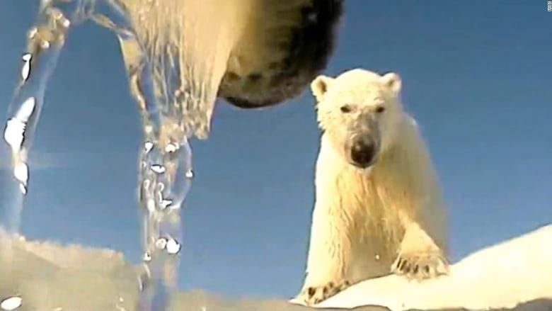 من كاميرا مثبته.. شاهد كيف تتكيف الدببة القطبية مع التغير المناخي؟