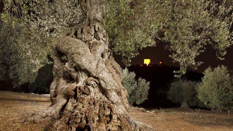 شجرة زيتون عمرها ألف عام.. ما سر لذّة زيتها؟