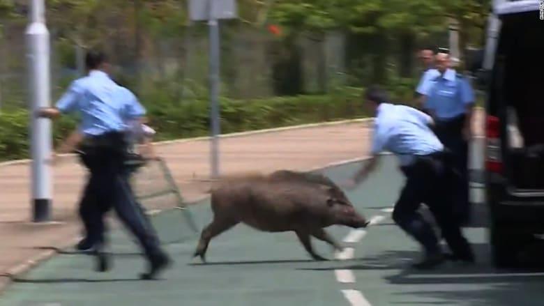 شاهد.. استدعاء قوات مكافحة الشغب لمواجهة هذا الحيوان في شوارع هونغ كونع!