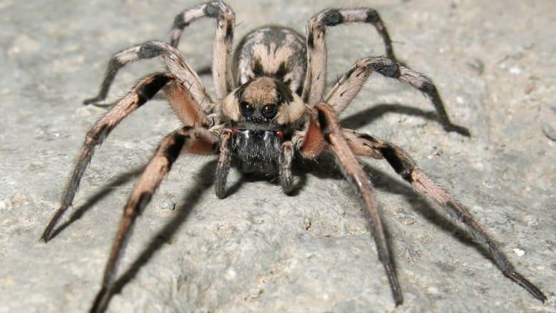"""نوع جديد من العناكب يحظى باسم من أفلام """"هاري بوتر"""""""