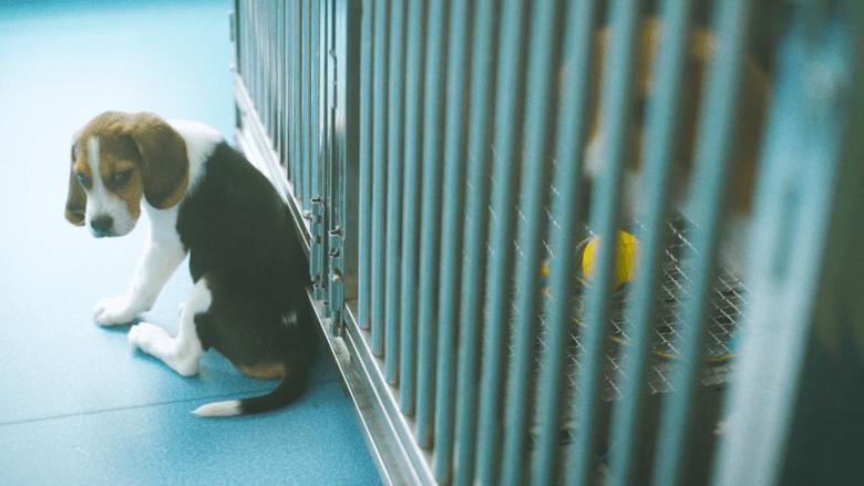 جراء مستنسخة من كلاب معدلة جينياً قد تكشف علاج الأمراض القلبية