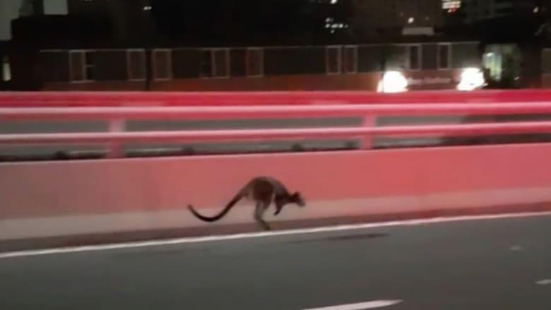 شاهد.. مطاردة الشرطة لحيوان ضال من فصيلة الكنغر